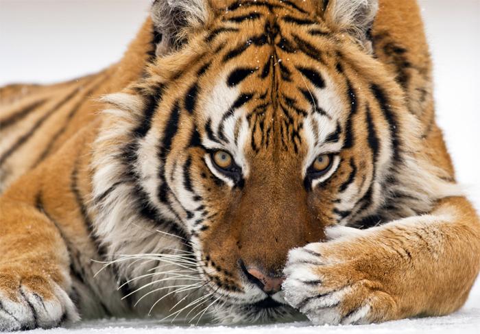 Февраль - начинаем новую жизнь с Тигром